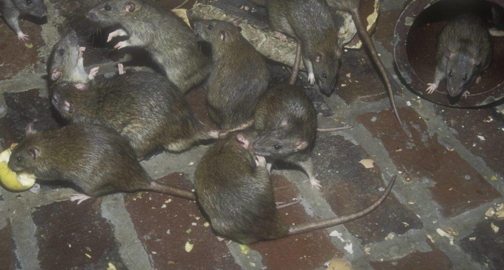 уничтожение крыс в Златоусте